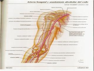 Anatomia 2 MIEMBRO SUPERIOR  ARTERIAS VENAS Y NERVIOS