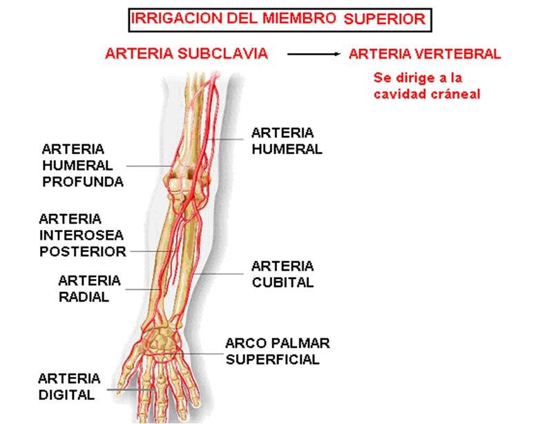 anatomia radiologica - vascular: Extremidad Superior