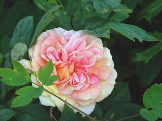 Bloomingwriter Gardening In Nova Scotia The Roses Of Scotts Bay