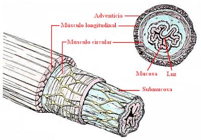 estructuras del esófago
