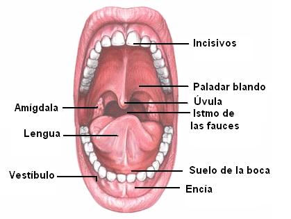ciencias naturales: Identificación de los órganos del sistema ...