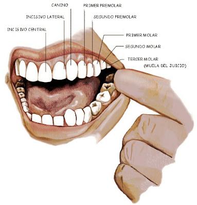 piezas dentales permanentes en el adulto