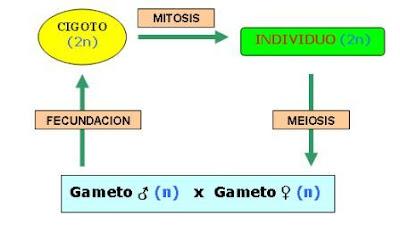 meiosis y mitosis