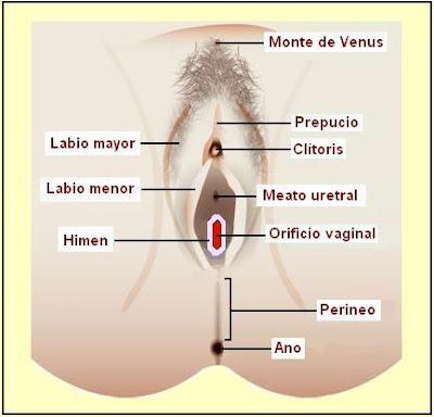 Órganos del sistema reproductor femenino