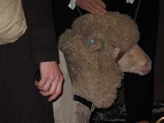 Merino Wool Ewe: Hillary