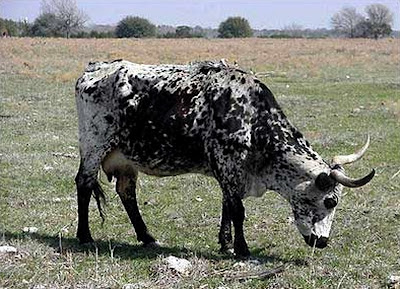 Texas Longhorn (cattle)