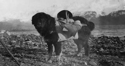 Prince, an Alaskan dog, carrying utensils on his back