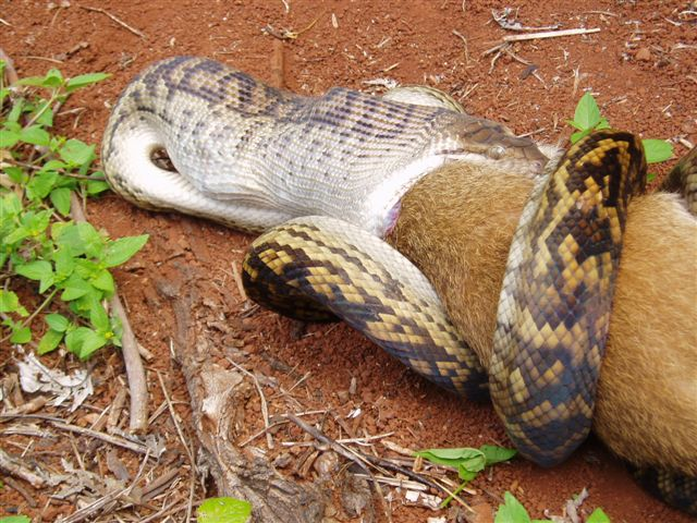 The Pictures Blog of Mr. MaLao's: Snake Eating a Kangaroo ...