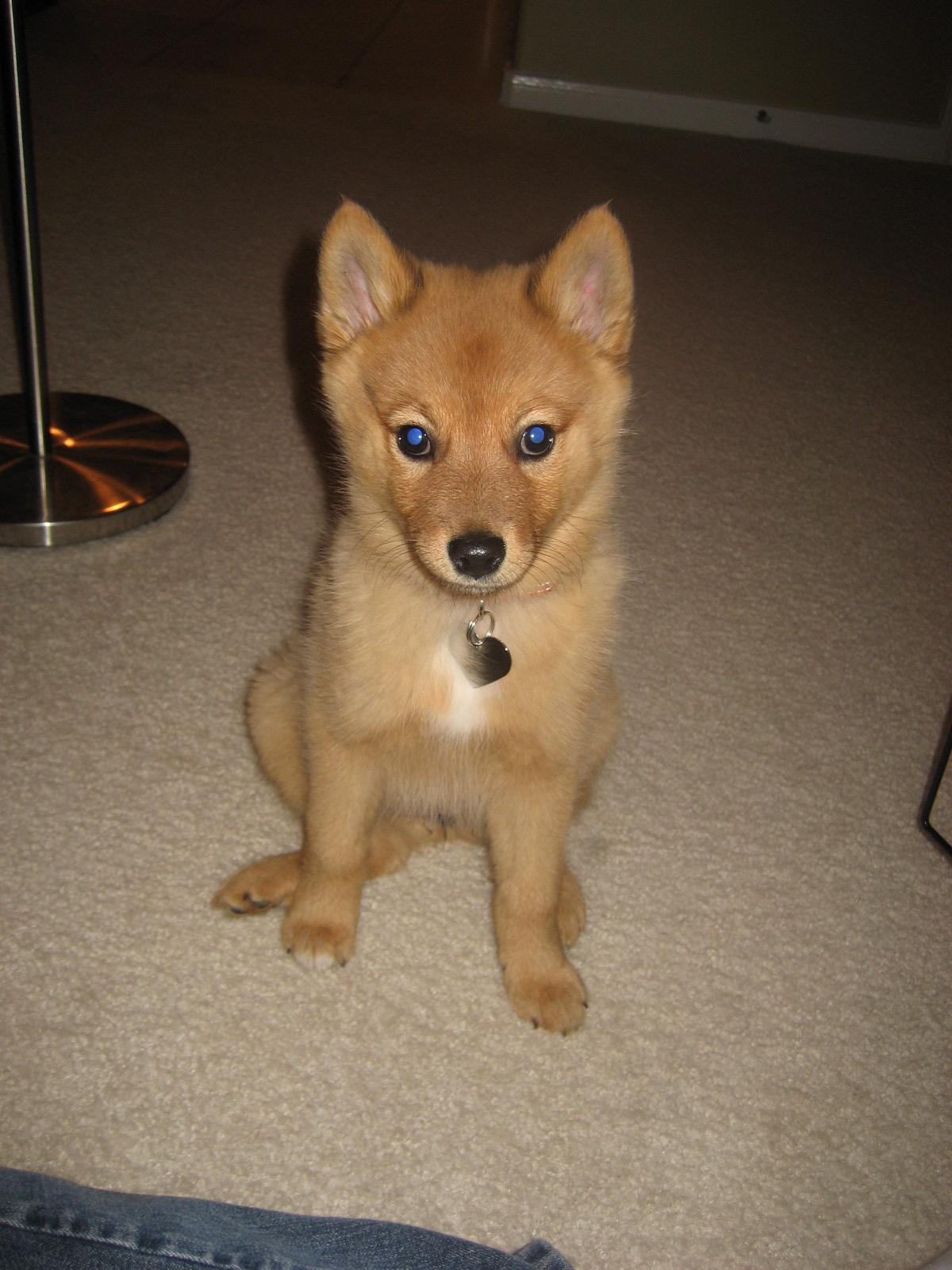 dog that looks like a fox - HD1200×1600