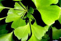 Chenab Industries Kashmir (CIK): Saffron Bulbs/ Corms/ Seeds Kashmiri Saffron Corms For Sale