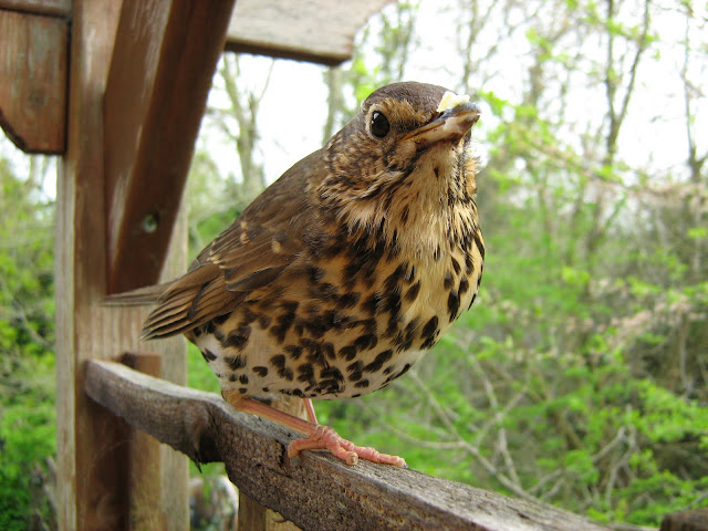 Temporarily winded song thrush on our back garden pergola