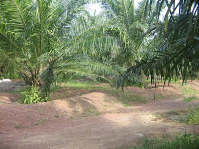 aksi melayu panas ladang kelapa sawit
