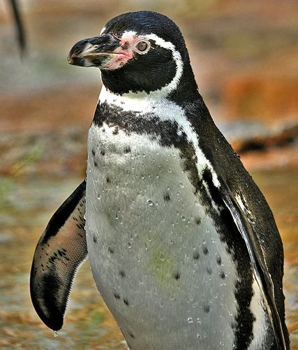 humboldt penguin photographed by victius 2009 flickr creative commons ...