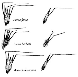 PLANT BREEDING: Behavior of wheat awn