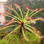 اجمل عشر انواع من النبات على وجه الارض بالصور دروسيرا.jpg