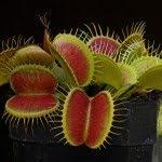 اجمل عشر انواع من النبات على وجه الارض بالصور venus-fly-trap.jpg