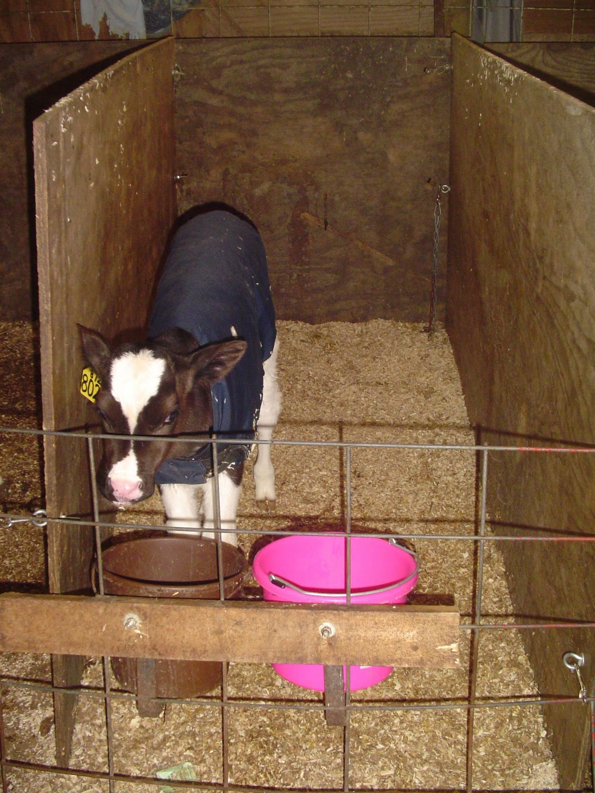 My Cows and Pigs: November 2010
