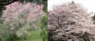 Taman Sakura Cibodas dengan Sakura Jepang