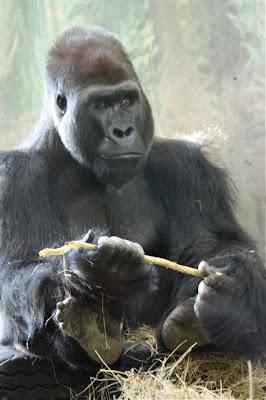 Julie Zickefoose On Blogspot Gorillas The Buff Vegetarians
