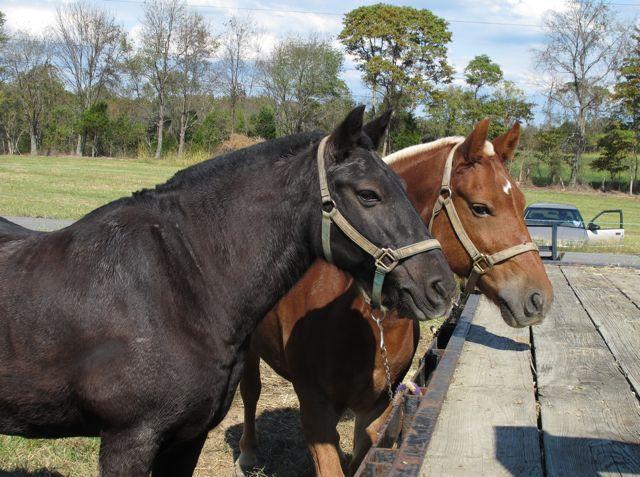 Julie Zickefoose On Blogspot Draft Mules