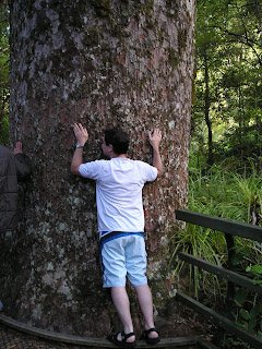 Tree hugging a kauri
