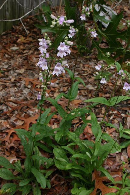 native florida wildflowers eastern smooth beardtongue penstemon