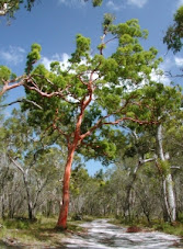 red gum