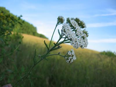 Лекарственные травы - Тысячелистник обыкновенный