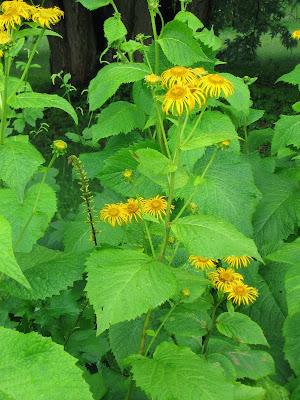 Лекарственные растения - девятисил высокий