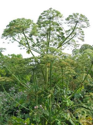 борщевик сосновского, лекарственные растения