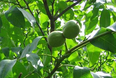 Лекарственные растения - Грецкий орех