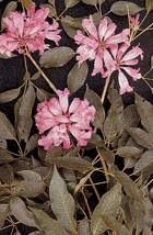 Лекарственные растения - муравьиное дерево