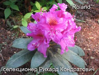 сорта рододендронов, цветущие рододендроны,  рододендроны цветы, питомники рододендронов, рододендрон фото