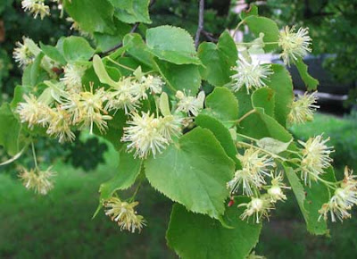 Липа, лиа мелколистная, липовый цвет, лекарственные растения