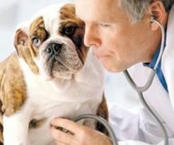 uretritis crónica en perros con