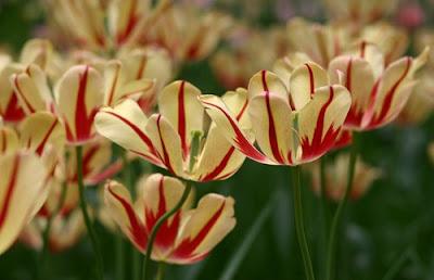 Beijing tulips