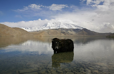 Yak at Lake Karakul