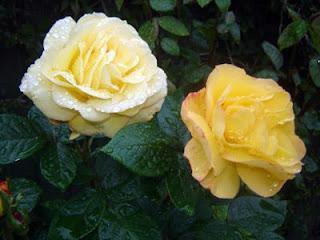 English roses.