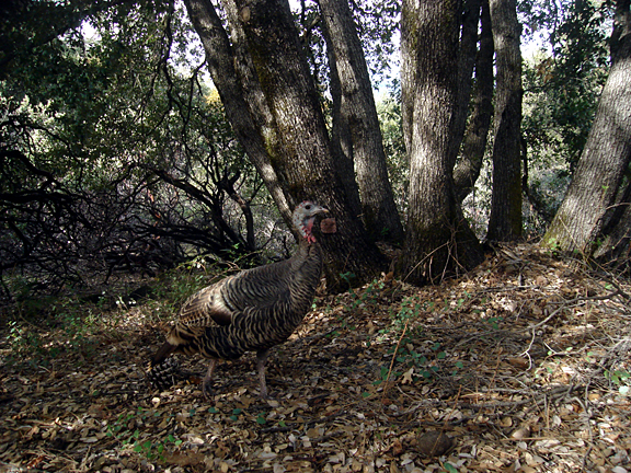 camera trap codger 2007 oh yes a few turkeys walked by too