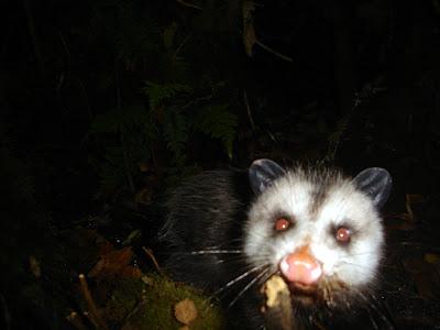 camera trap codger 2007 california s possum diaspora