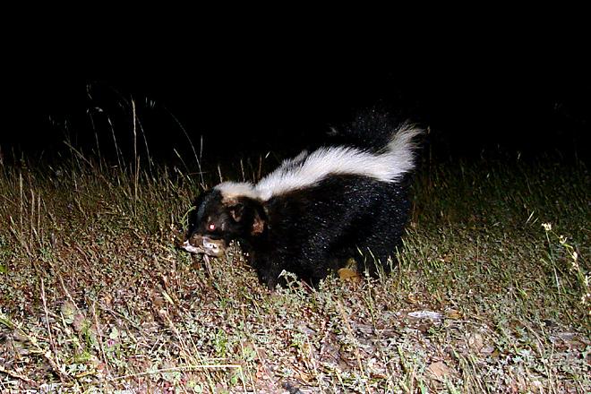 [skunk+wound1791.jpg]