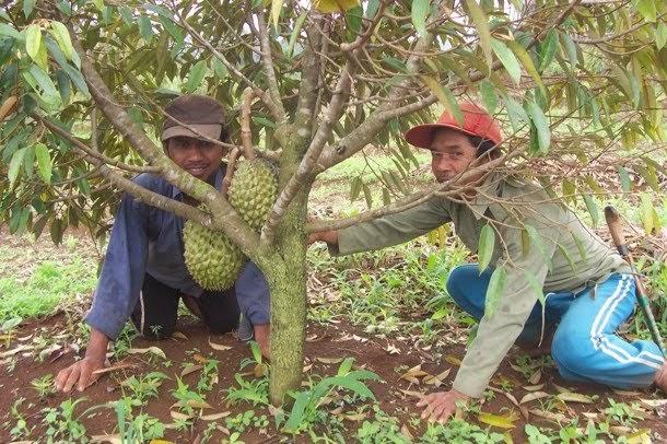 Kebun Durian Antap Sari Apa saja yang ada di Antap Sari