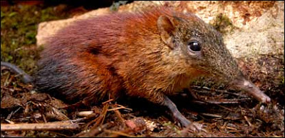 a new elephant shrew