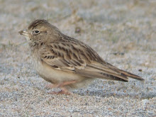 Short-toed Lark, Long Nanny, December 2007