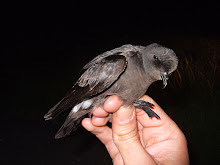 Storm Petrel, Newton Point, August 2007