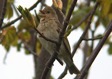 Common Rosefinch, Newton Pool, May 2008