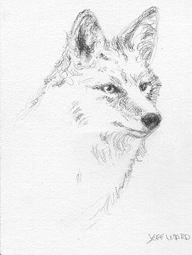 ACEO coyote sketch