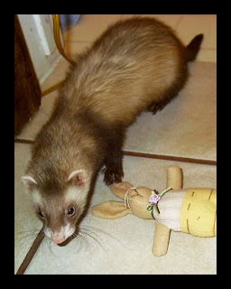 LITTLE BOY SABLE MALE FERRET