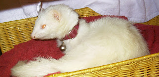 ABBY ALBINO FEMALE PET FERRET