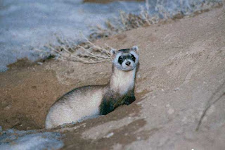 black footed ferret photo